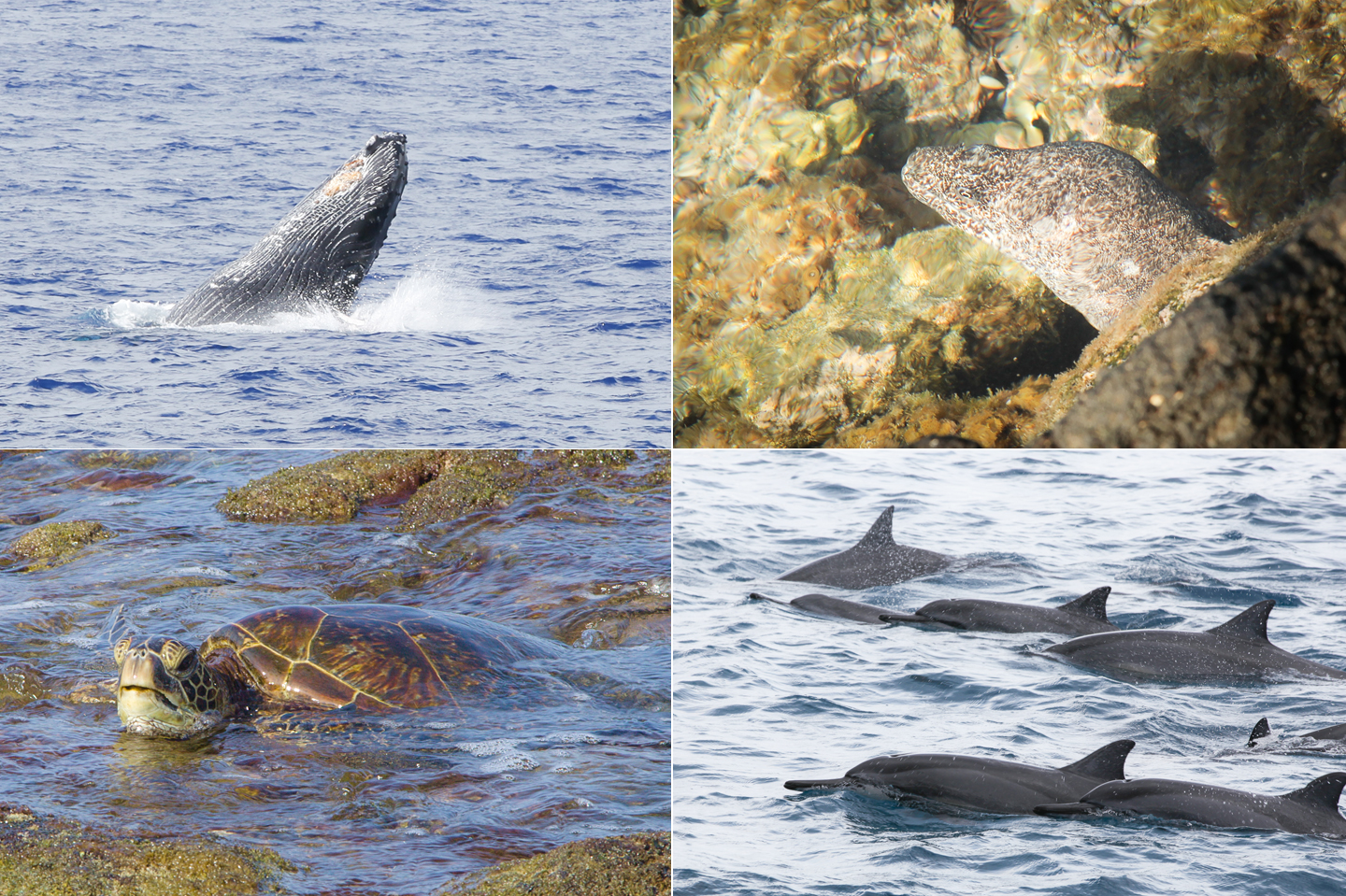 Humpback whale, Moray eel, Green sea turtle and Spinner dolphins