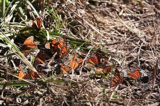 ellwood mesa monarch butterfly preserve